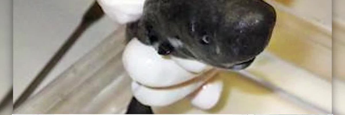 New Shark species discovered