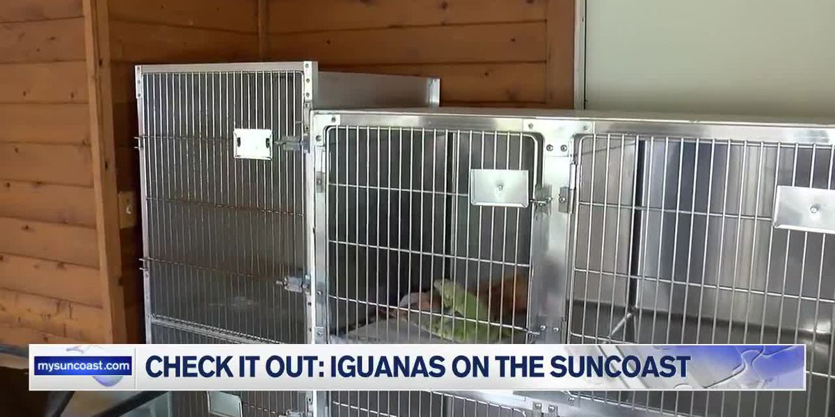 Iguanas on the Suncoast