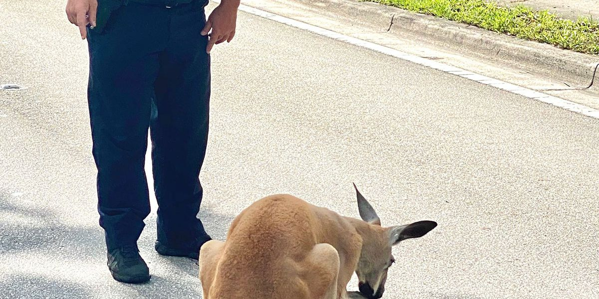 Slow down, mate! Fort Lauderdale PD captures kangaroo on the loose