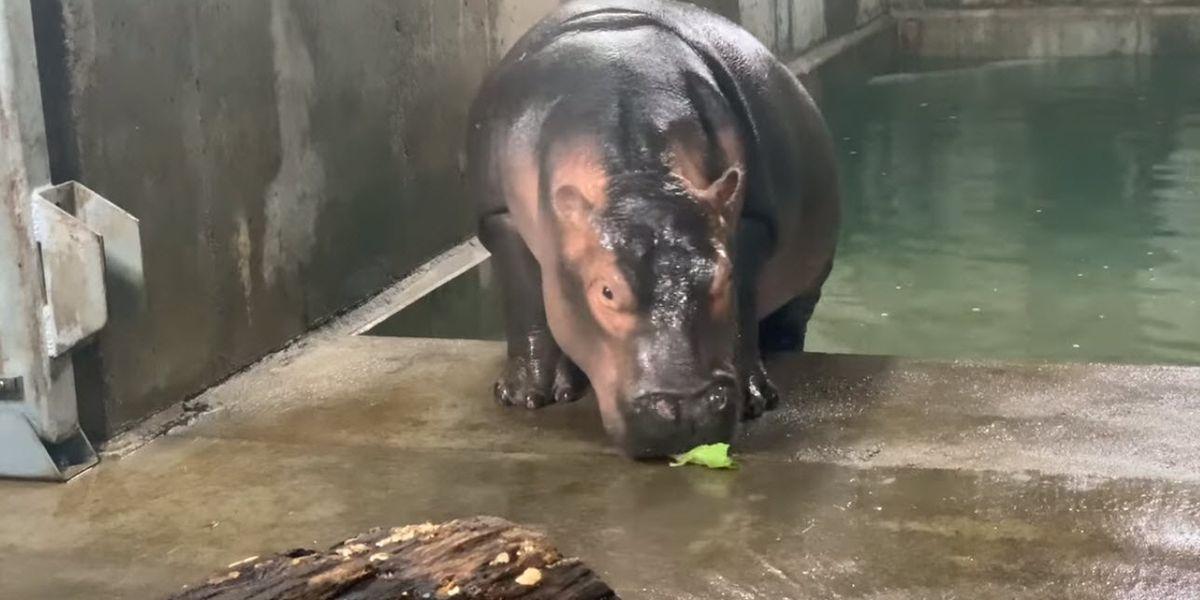 Born six weeks premature, Fiona the hippo breaks 1,000 lb. milestone