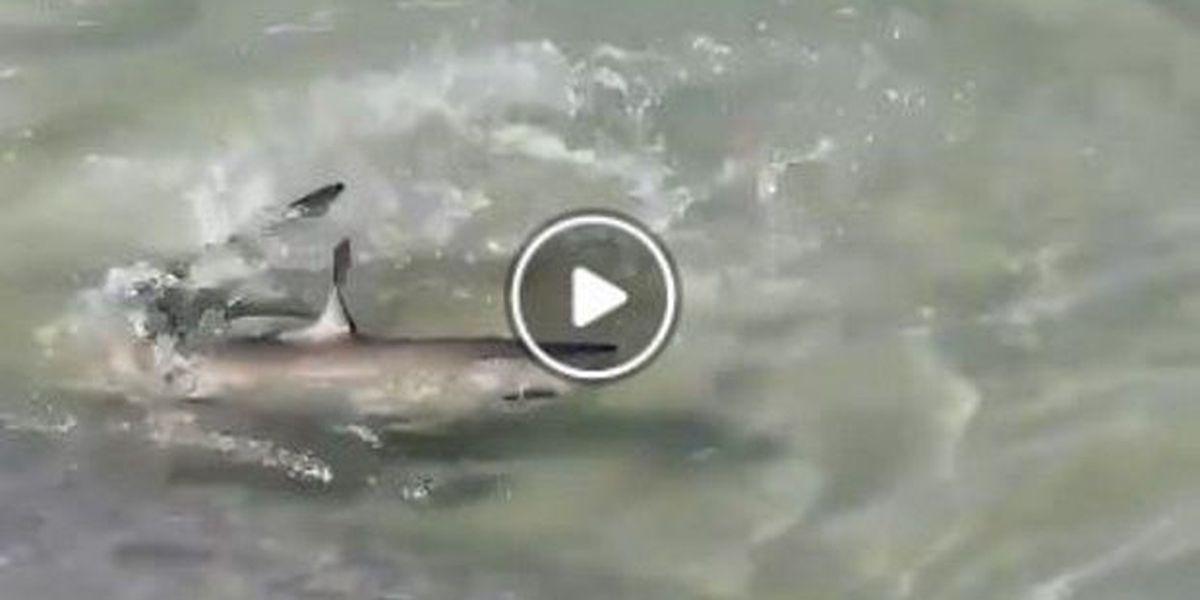 WATCH: Beachgoers witness shark struggling to stay alive