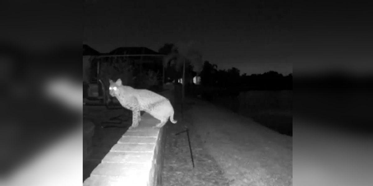 VIDEO: Bobcat visits patio of Bradenton home