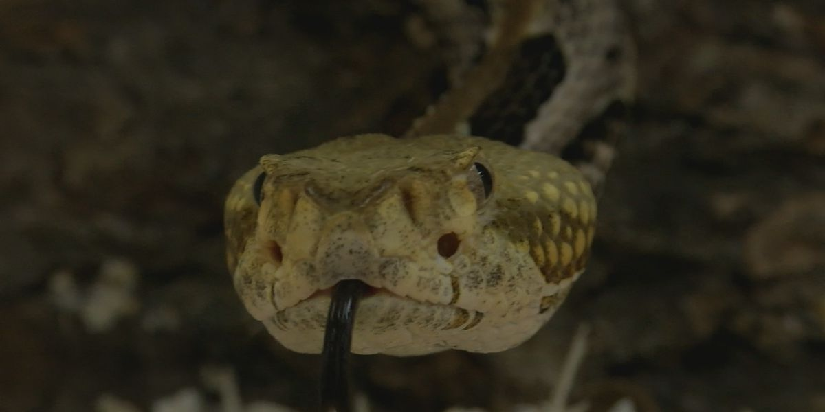 Experts shed light on rattlesnake attacks after bite victim fears he'll never walk the same again