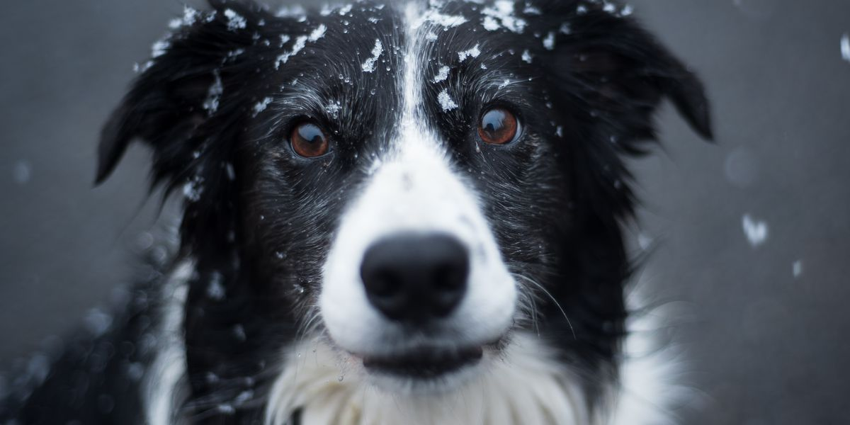 Border collie saves Chihuahua buddy from being run over by car