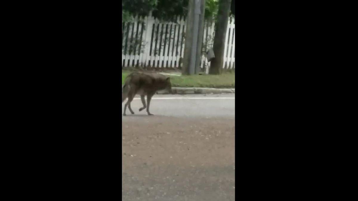 WATCH: Coyote roams around busy Sarasota street