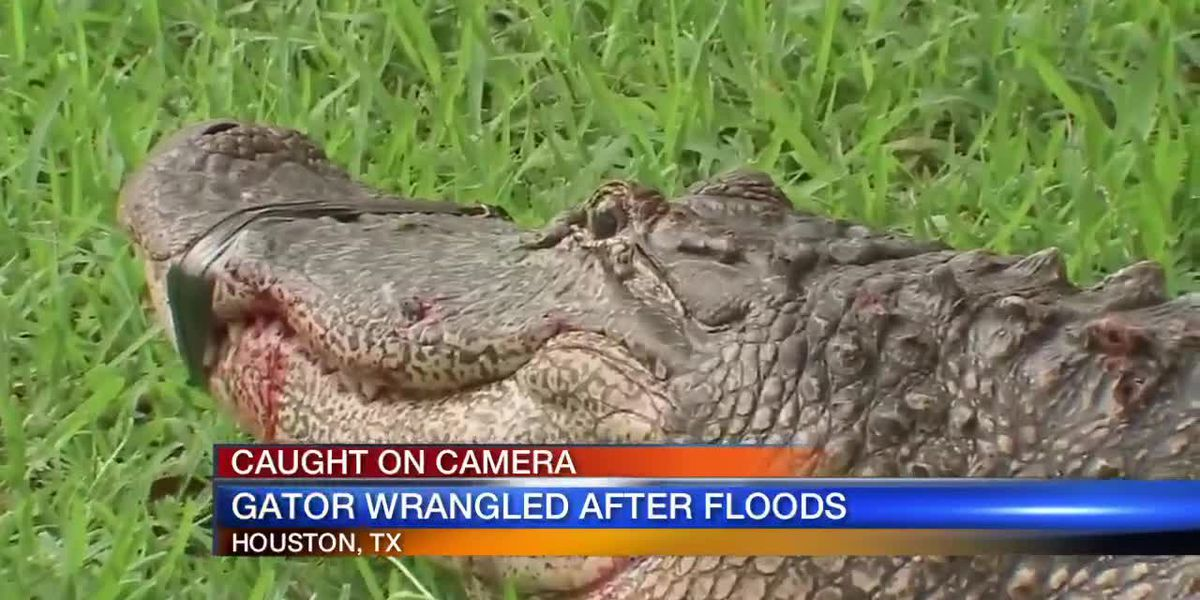 Gator Wrangled in Houston Streets After Flood