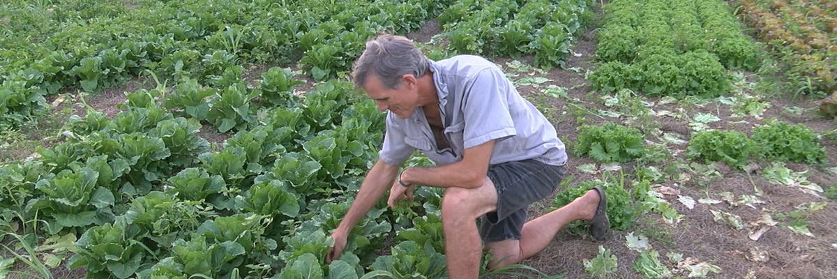 Sarasota farmer says locally grown romaine lettuce is safe to eat, despite nationwide warning from CDC