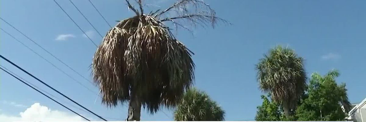 Disease called 'lethal bronzing' is killing Florida palm trees
