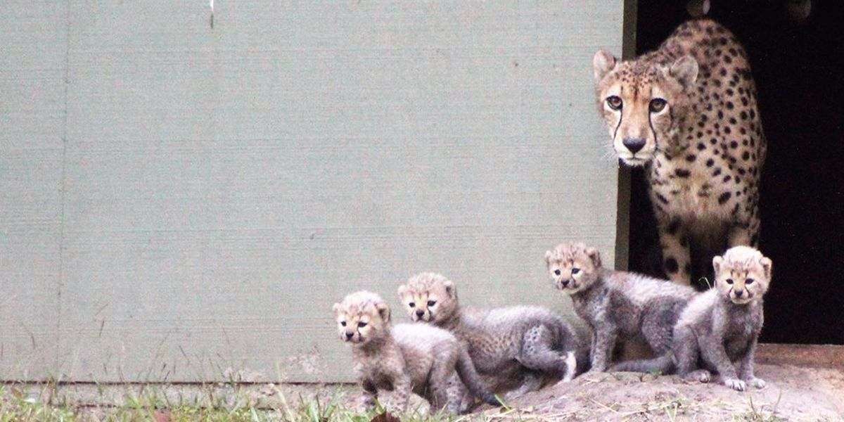 4 cheetah cubs born at wildlife refuge near Jacksonville
