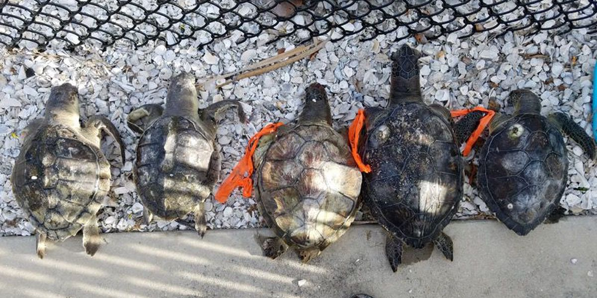 MOTE: 239 dead sea turtles, 19 dolphins recovered so far in 2018