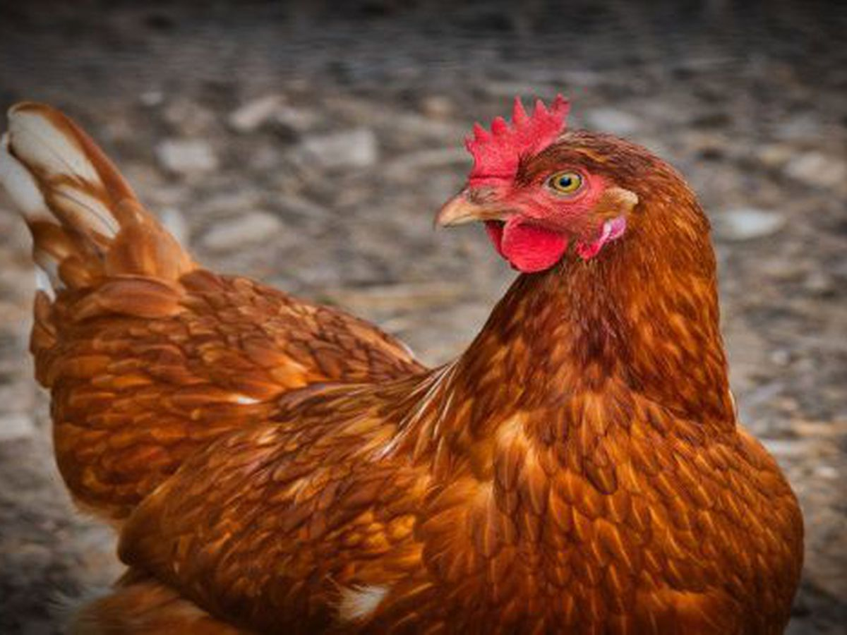 CDC Warns Against Halloween Costumes for Chickens