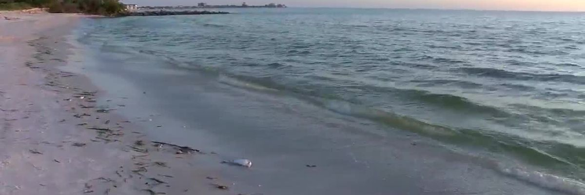Red tide has returned, continues to impact Suncoast beaches