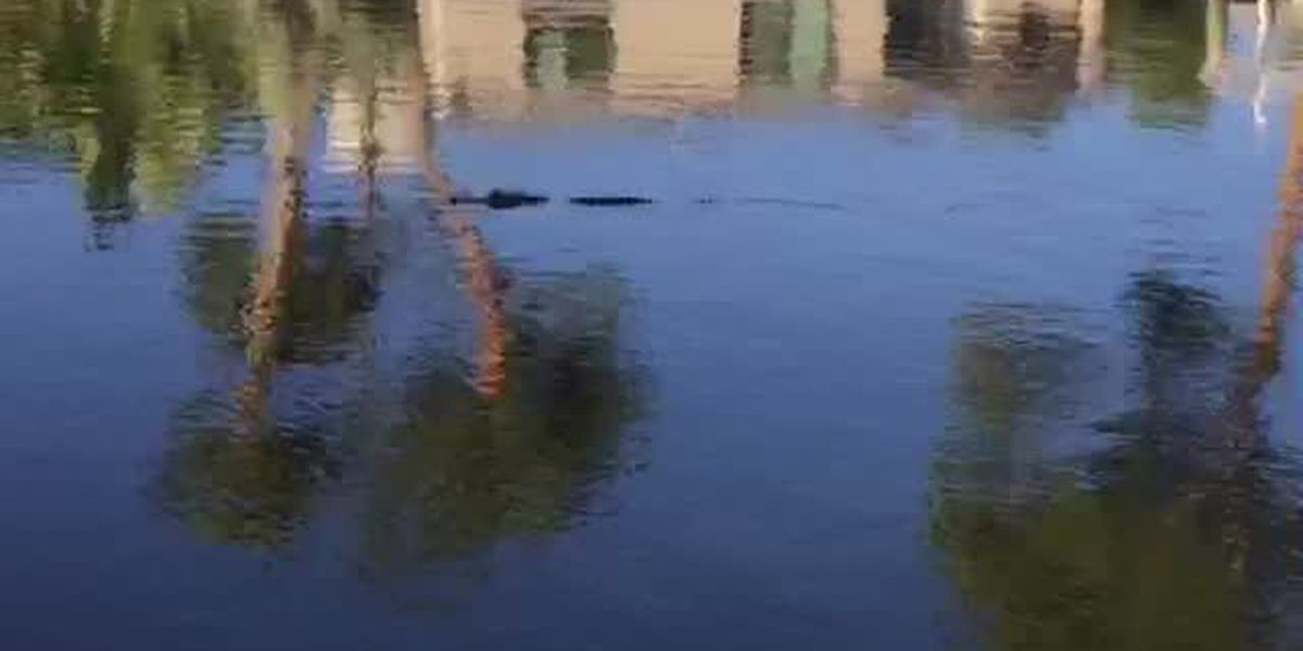 VIDEO: Baby alligator swimming in salt water canal