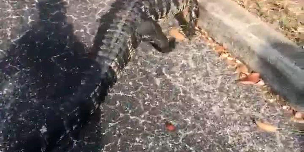 """VIDEO: """"Aggressive alligator"""" found at Walgreens in Venice"""