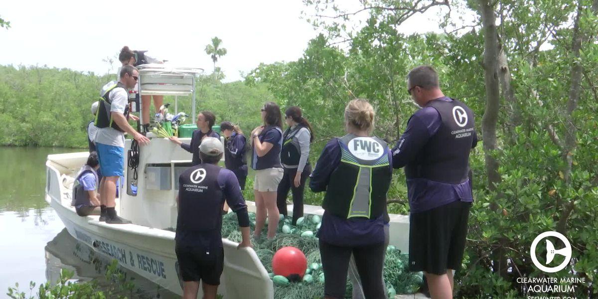 Aquarium and FWC rescue injured manatee