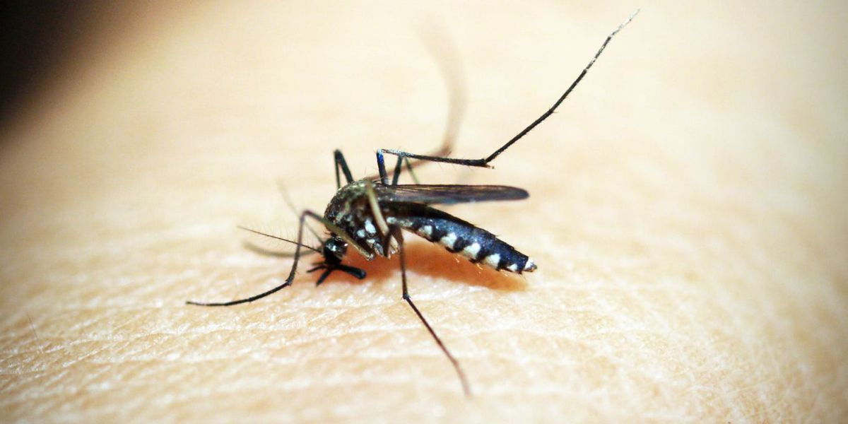 Researchers working towards sterilizing mosquitoes, dramatically decreasing population