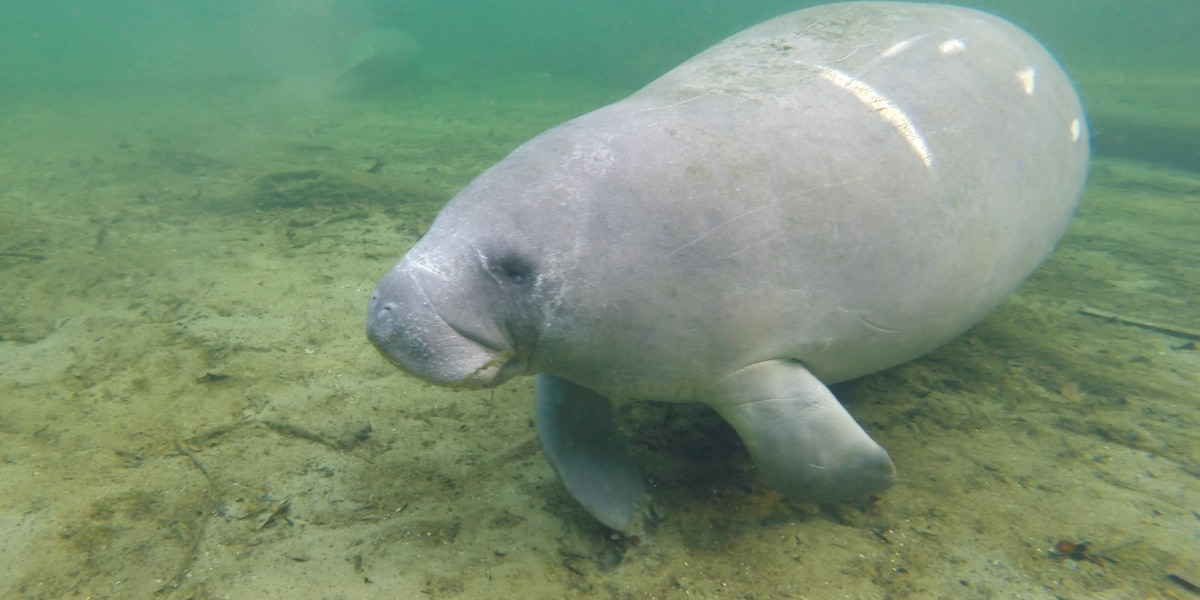 Manatee deaths on the rise in Florida: Lack of seagrass could be to blame