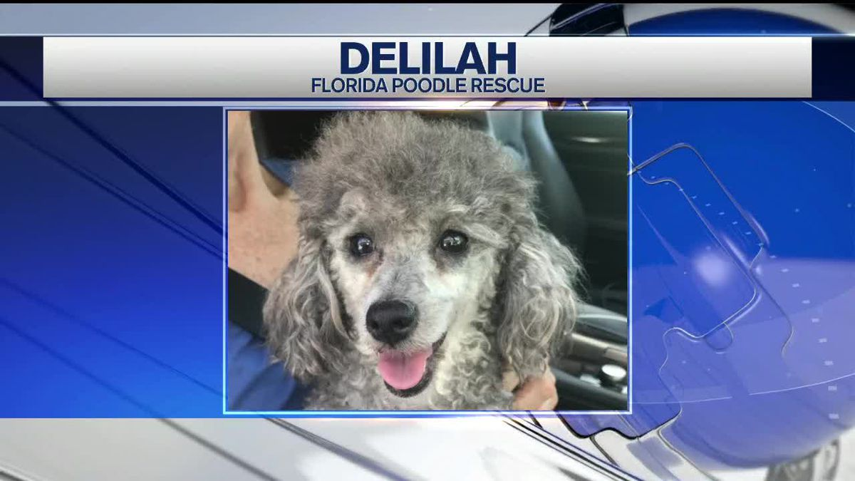 Pet of the Week - Delilah From Florida Poodle Rescue