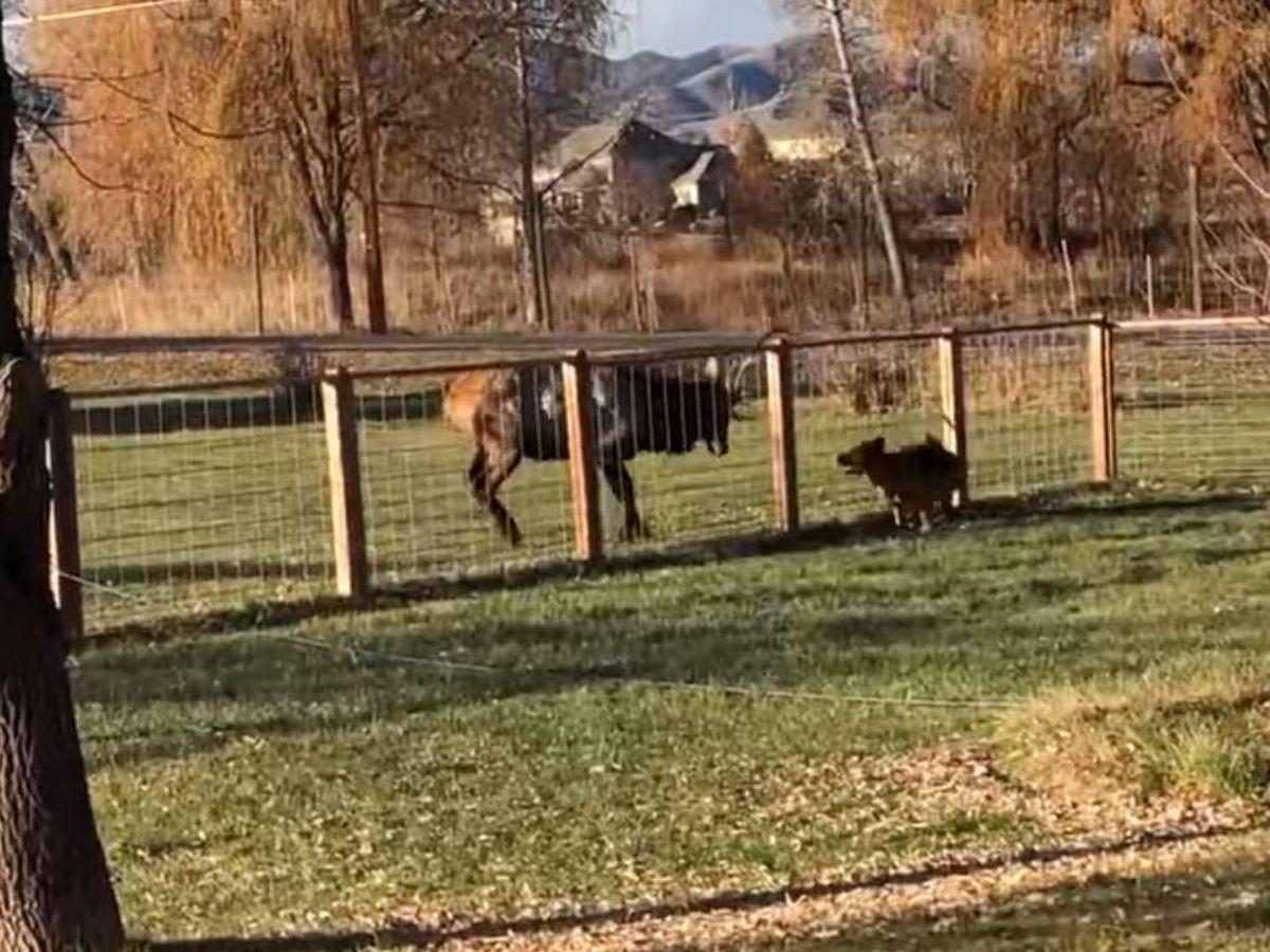 Elk and German shepherd caught on camera frolicking in Colorado