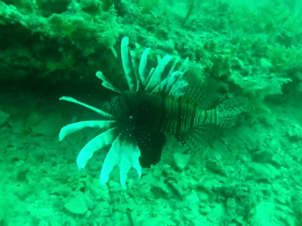 Lionfish causing problems on the Gulf of Mexico