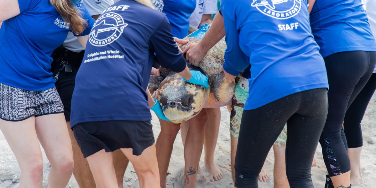 Mote Marine Laboratory releases turtle back into the wild