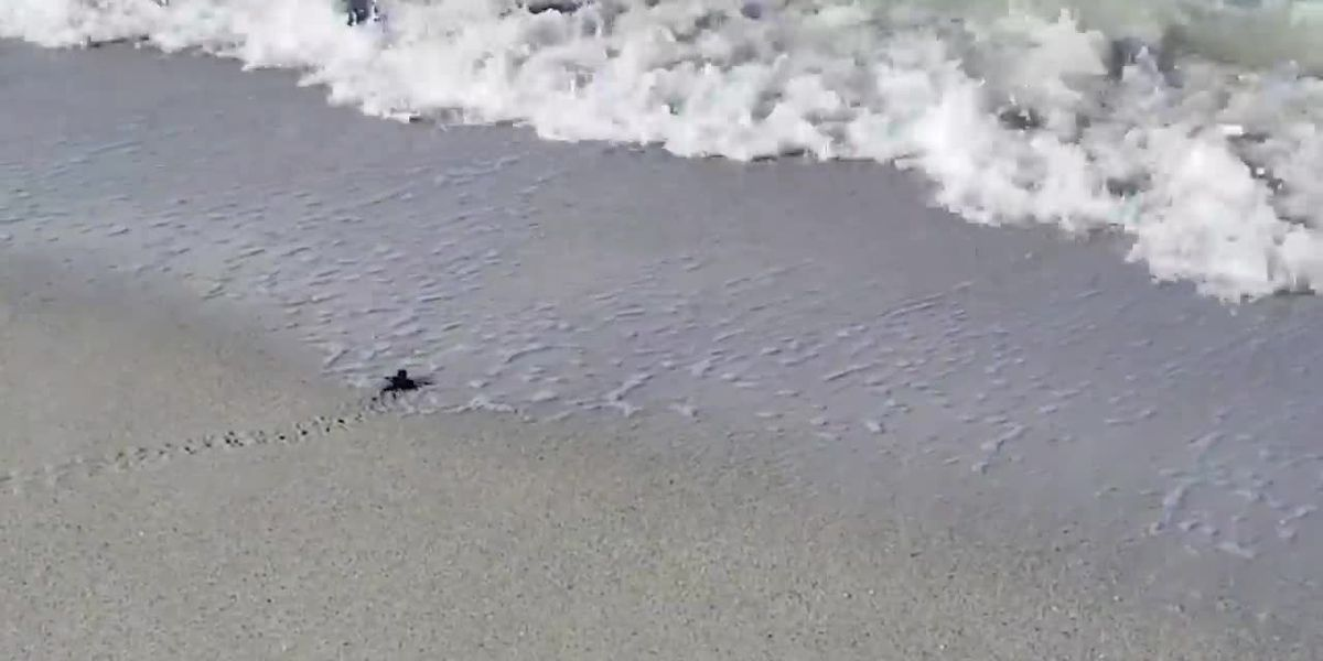 WATCH: Sea turtle hatchlings emerge from their nests, scurry to the water